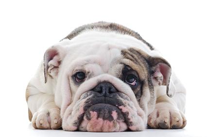 Acupuncture, phytothérapie et rhumatismes du chien